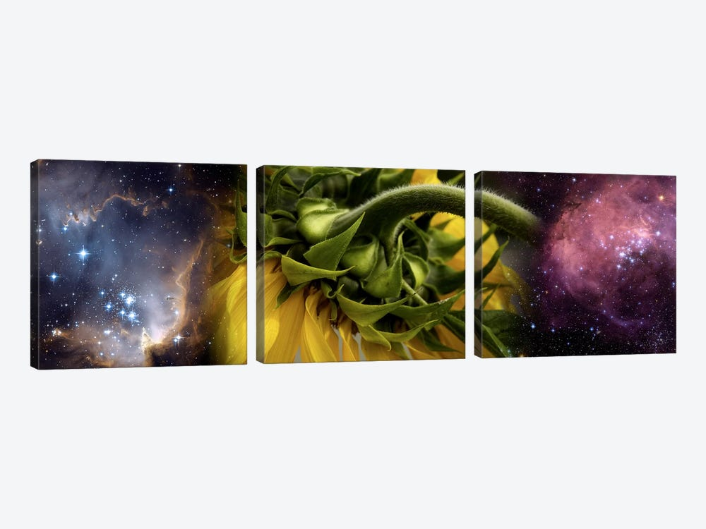 Sunflower in cosmos by Panoramic Images 3-piece Canvas Art
