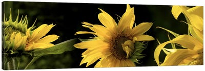 Sunflowers Canvas Print #PIM10225