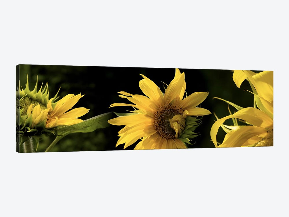Sunflowers by Panoramic Images 1-piece Canvas Art