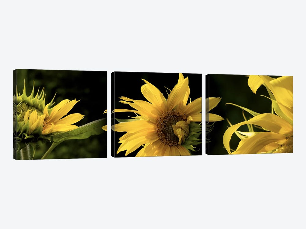 Sunflowers by Panoramic Images 3-piece Canvas Artwork
