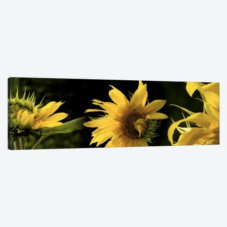 Sunflowers Canvas Print #PIM10225} by Panoramic Images Canvas Art Print