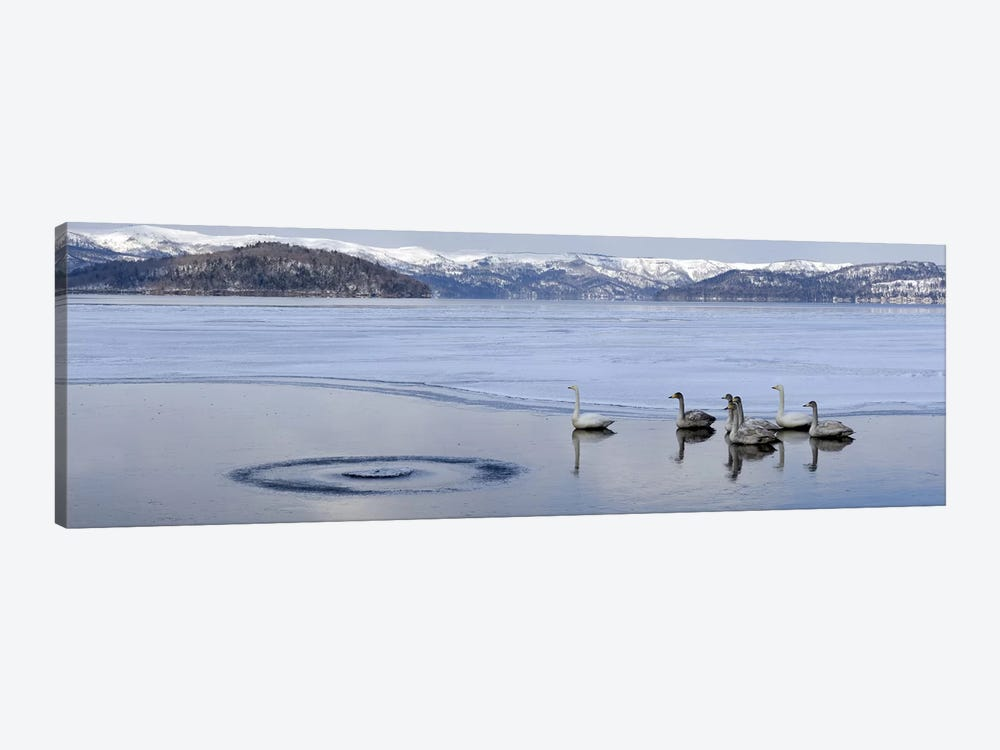 Whooper swans (Cygnus cygnus) on frozen lake, Lake Kussharo, Akan National Park, Hokkaido, Japan by Panoramic Images 1-piece Canvas Wall Art