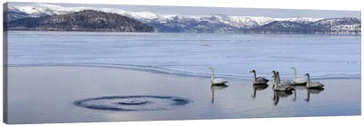 Whooper swans (Cygnus cygnus) on frozen lake, Lake Kussharo, Akan National Park, Hokkaido, Japan Canvas Art Print