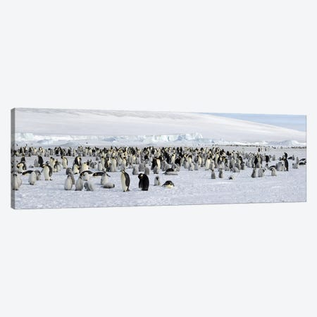 Emperor penguins (Aptenodytes forsteri) colony at snow covered landscape, Snow Hill Island, Antarctica Canvas Print #PIM10326} by Panoramic Images Canvas Wall Art