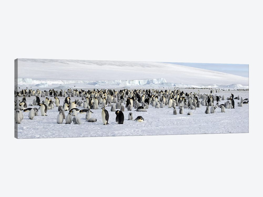Emperor penguins (Aptenodytes forsteri) colony at snow covered landscape, Snow Hill Island, Antarctica by Panoramic Images 1-piece Canvas Wall Art