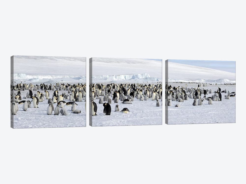 Emperor penguins (Aptenodytes forsteri) colony at snow covered landscape, Snow Hill Island, Antarctica by Panoramic Images 3-piece Canvas Art