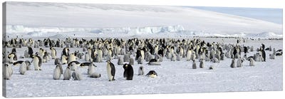 Emperor penguins (Aptenodytes forsteri) colony at snow covered landscape, Snow Hill Island, Antarctica Canvas Art Print