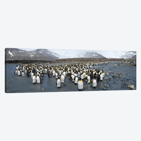 King penguins (Aptenodytes patagonicus) colony, St Andrews Bay, South Georgia Island Canvas Print #PIM10341} by Panoramic Images Art Print