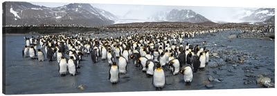 King penguins (Aptenodytes patagonicus) colony, St Andrews Bay, South Georgia Island Canvas Art Print