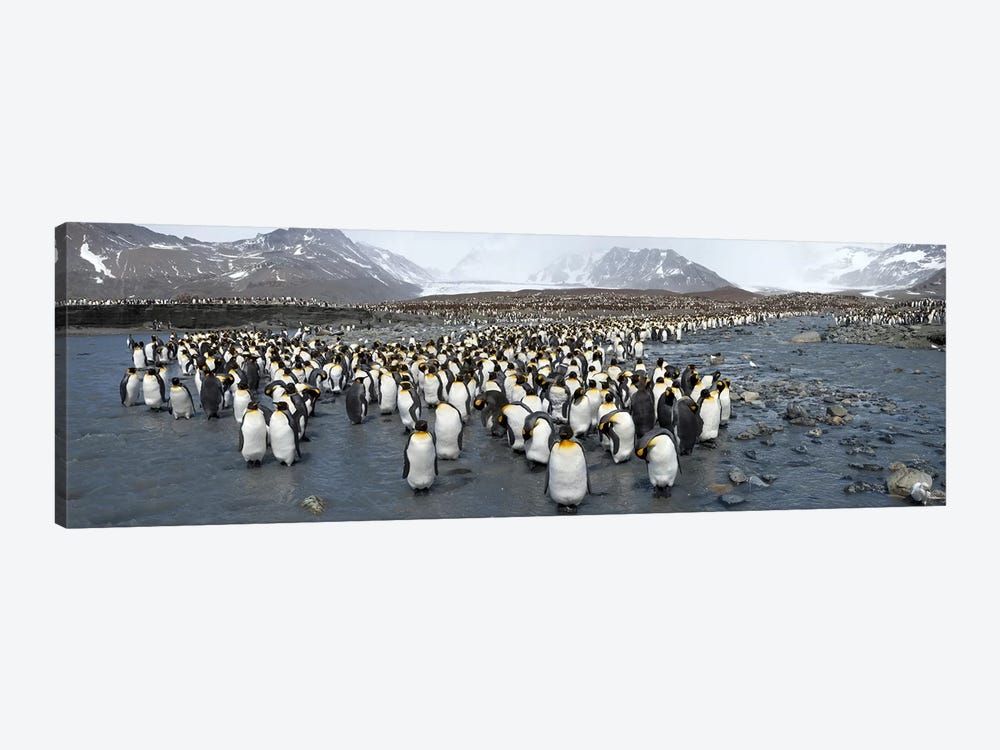 King penguins (Aptenodytes patagonicus) colony, St Andrews Bay, South Georgia Island by Panoramic Images 1-piece Art Print