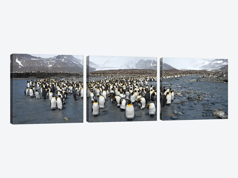 King penguins (Aptenodytes patagonicus) colony, St Andrews Bay, South Georgia Island by Panoramic Images 3-piece Art Print