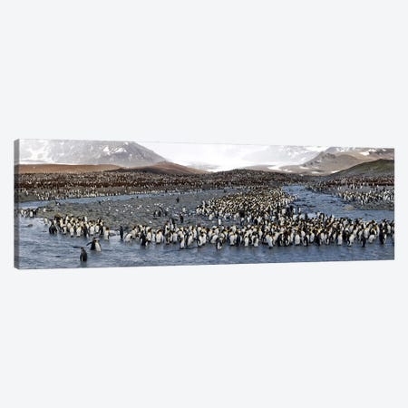King penguins (Aptenodytes patagonicus) colony, St Andrews Bay, South Georgia Island #2 Canvas Print #PIM10342} by Panoramic Images Art Print