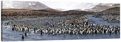 King penguins (Aptenodytes patagonicus) colony, St Andrews Bay, South Georgia Island #2 Canvas Art Print