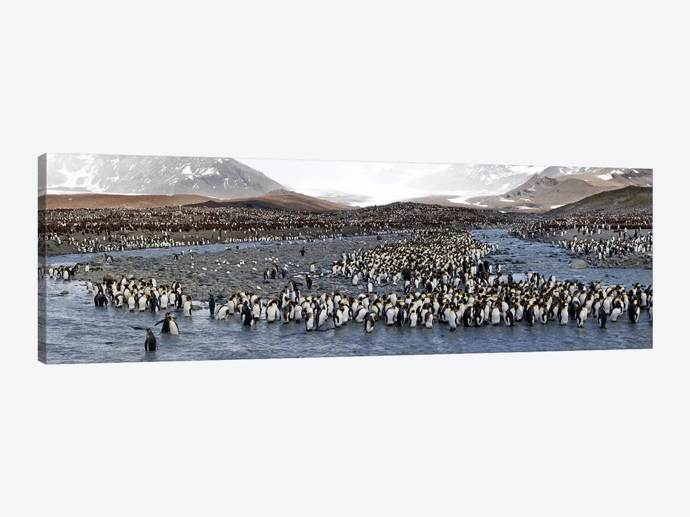 King penguins (Aptenodytes patagonicus) colony, St Andrews Bay, South Georgia Island #2 by Panoramic Images 1-piece Canvas Art
