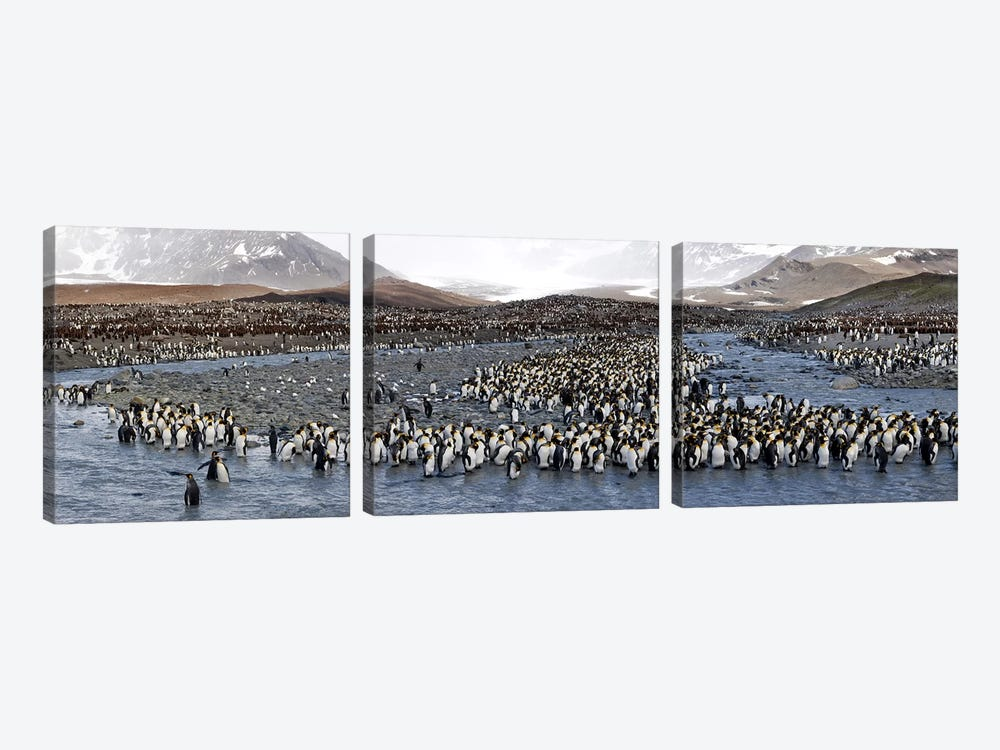 King penguins (Aptenodytes patagonicus) colony, St Andrews Bay, South Georgia Island #2 by Panoramic Images 3-piece Canvas Wall Art