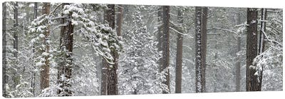 Snow covered Ponderosa Pine trees in a forest, Indian Ford, Oregon, USA Canvas Art Print