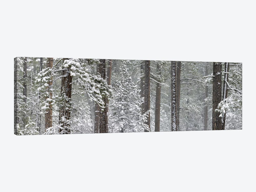 Snow covered Ponderosa Pine trees in a forest, Indian Ford, Oregon, USA 1-piece Art Print