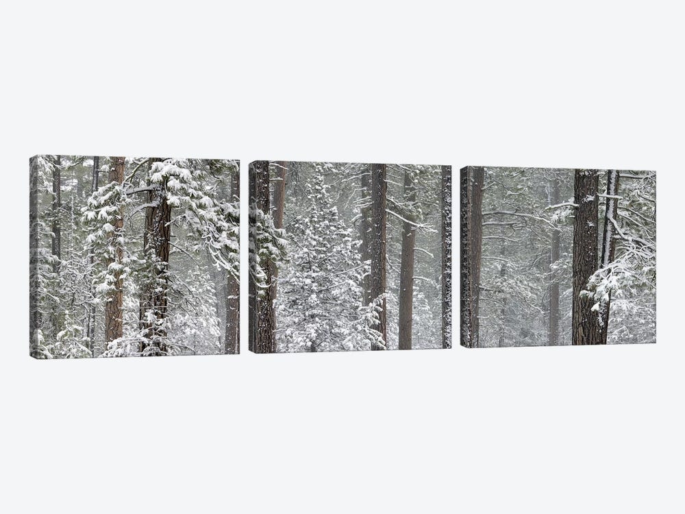 Snow covered Ponderosa Pine trees in a forest, Indian Ford, Oregon, USA 3-piece Canvas Print