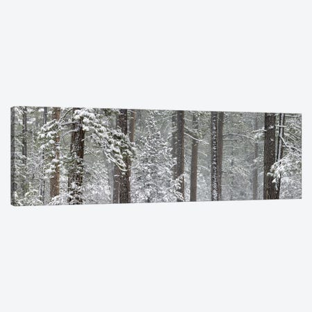 Snow covered Ponderosa Pine trees in a forest, Indian Ford, Oregon, USA Canvas Print #PIM10347} by Panoramic Images Canvas Wall Art