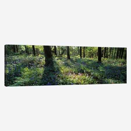 Bluebells growing in a forest, Exe Valley, Devon, England Canvas Print #PIM10373} by Panoramic Images Canvas Artwork