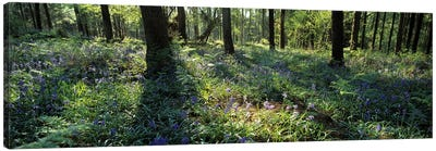 Bluebells growing in a forest, Exe Valley, Devon, England Canvas Art Print