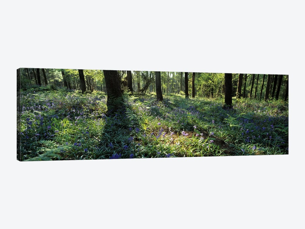 Bluebells growing in a forest, Exe Valley, Devon, England by Panoramic Images 1-piece Canvas Art