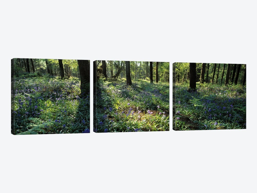 Bluebells growing in a forest, Exe Valley, Devon, England by Panoramic Images 3-piece Canvas Artwork