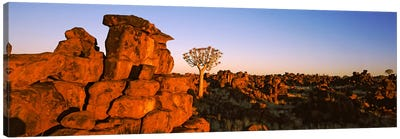 Quiver tree (Aloe dichotoma) growing in rocksDevil's Playground, Namibia Canvas Art Print