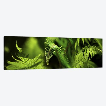Close-up of ferns Canvas Print #PIM10528} by Panoramic Images Canvas Art Print