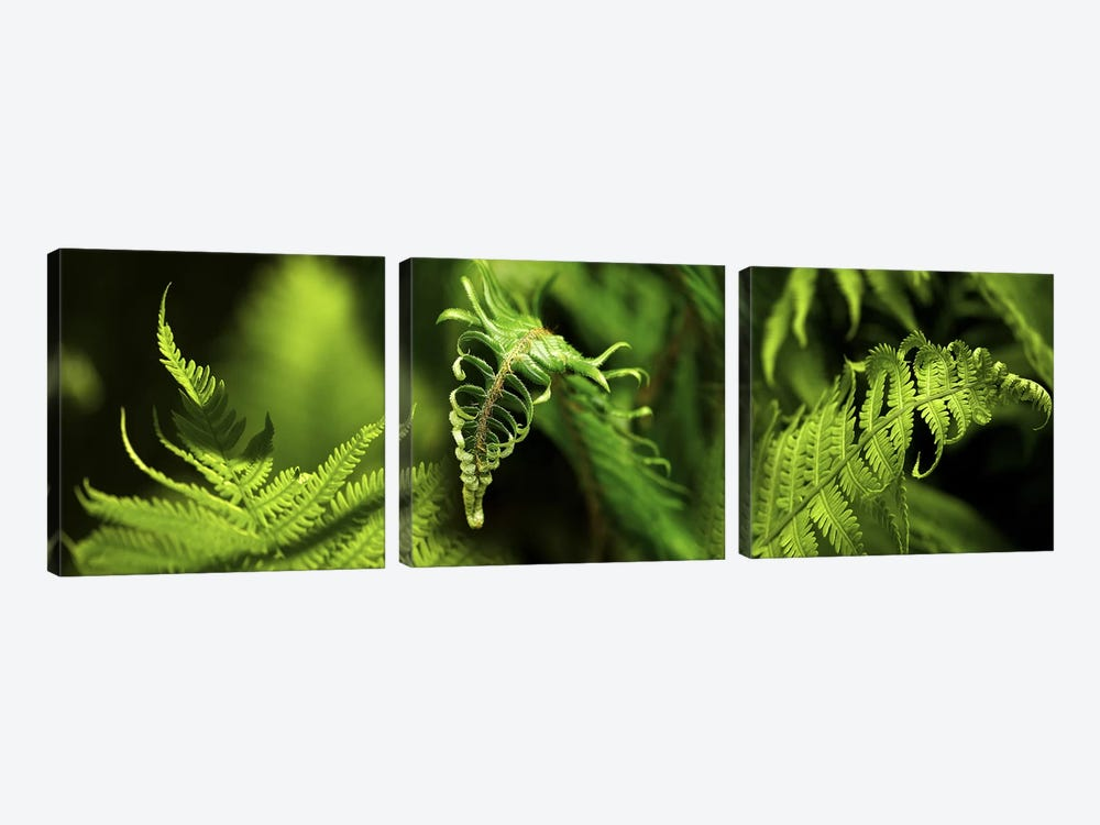 Close-up of ferns by Panoramic Images 3-piece Canvas Art