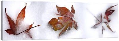 Three fall leaves in snow Canvas Print #PIM10530