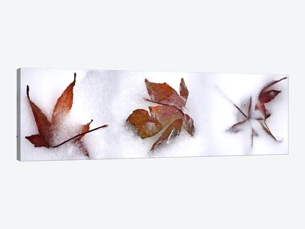 Three fall leaves in snow by Panoramic Images 1-piece Canvas Print