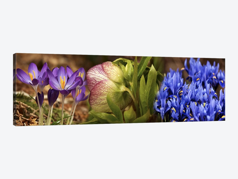 Details of Crocus flowers by Panoramic Images 1-piece Canvas Wall Art