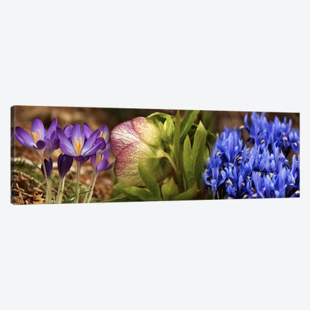 Details of Crocus flowers 3-Piece Canvas #PIM10535} by Panoramic Images Canvas Art Print