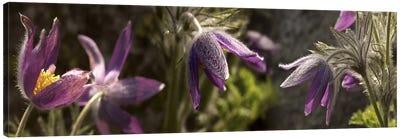 Details of purple furry flowers Canvas Print #PIM10542