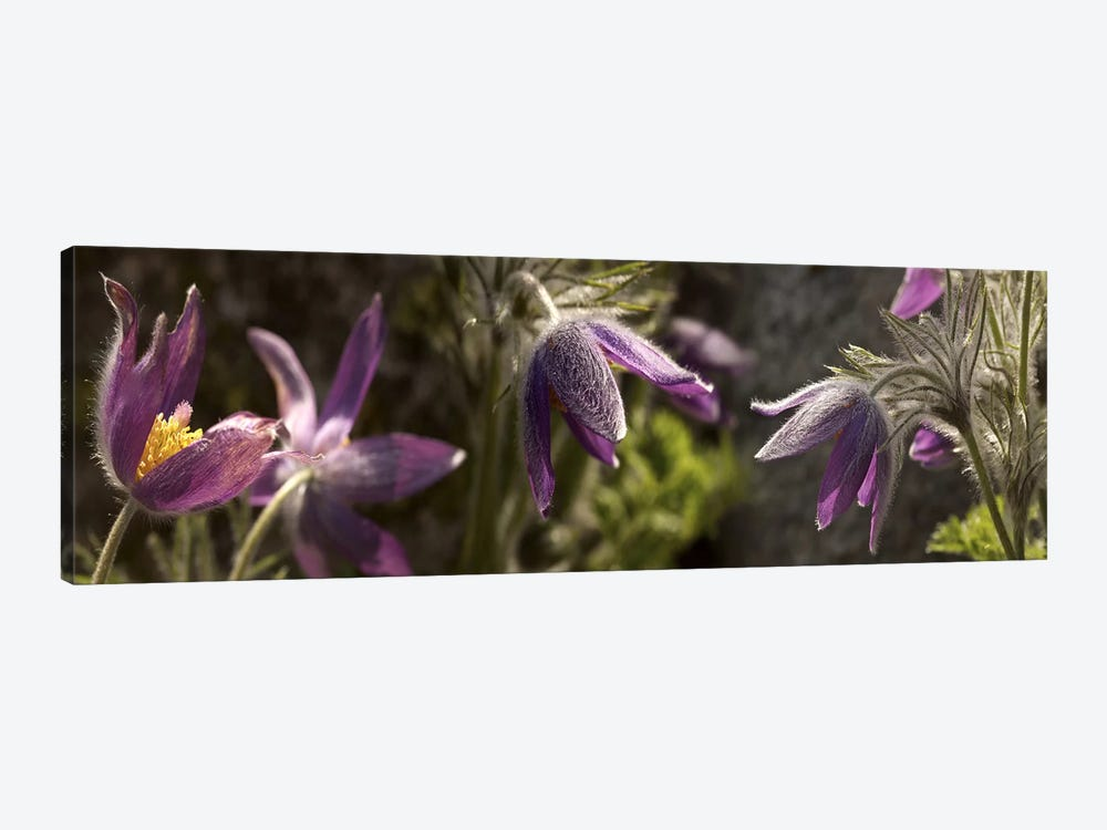 Details of purple furry flowers 1-piece Canvas Wall Art