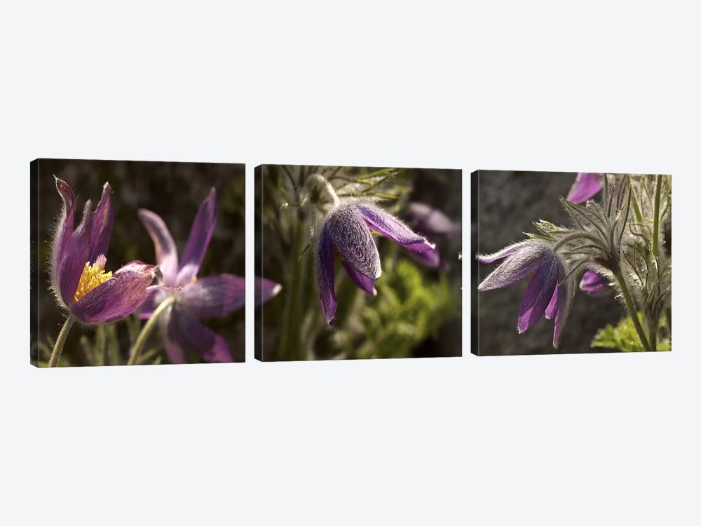 Details of purple furry flowers by Panoramic Images 3-piece Canvas Art