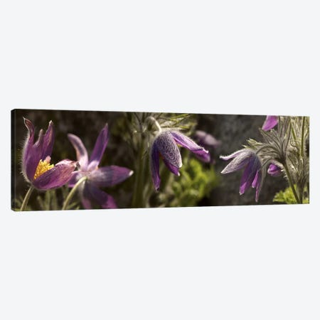 Details of purple furry flowers 3-Piece Canvas #PIM10542} by Panoramic Images Art Print