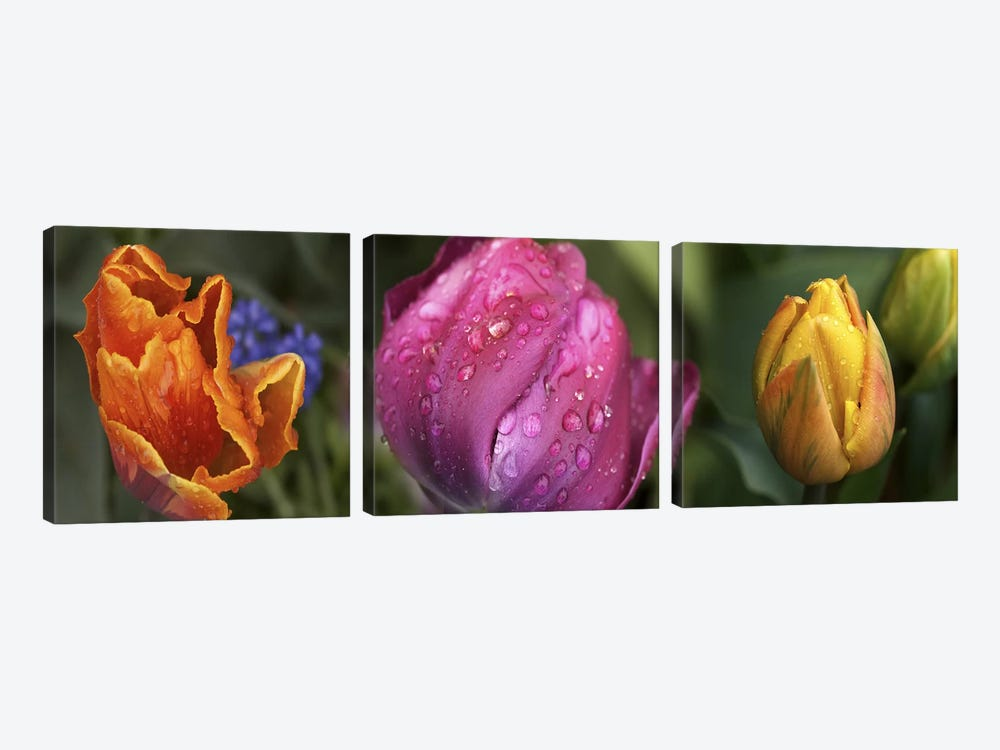 Details of colorful tulip flowers by Panoramic Images 3-piece Canvas Print