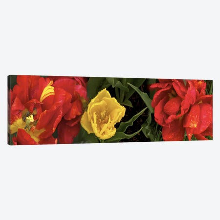 Close-up of red and yellow tulips Canvas Print #PIM10548} by Panoramic Images Canvas Print