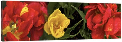 Close-up of red and yellow tulips Canvas Print #PIM10548