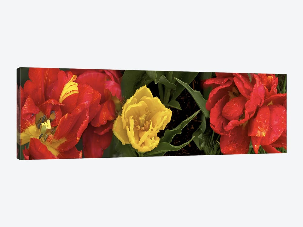 Close-up of red and yellow tulips by Panoramic Images 1-piece Canvas Art