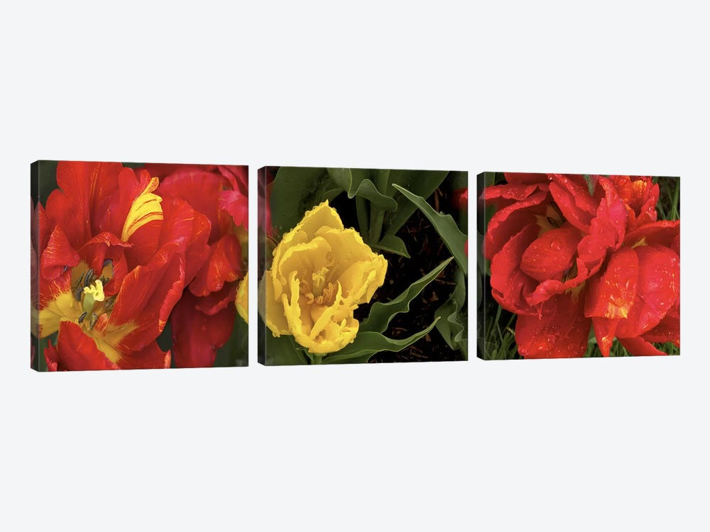 Close-up of red and yellow tulips by Panoramic Images 3-piece Canvas Wall Art