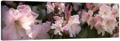 Multiple images of pink Rhododendron flowers Canvas Print #PIM10549