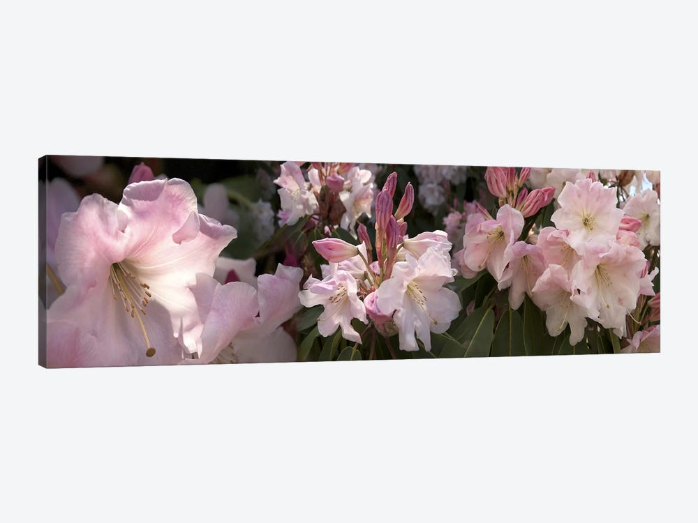 Multiple images of pink Rhododendron flowers by Panoramic Images 1-piece Canvas Art Print