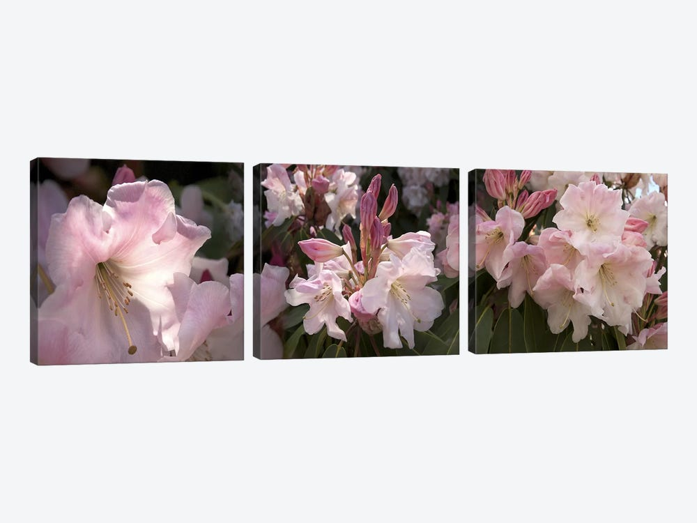 Multiple images of pink Rhododendron flowers by Panoramic Images 3-piece Canvas Print