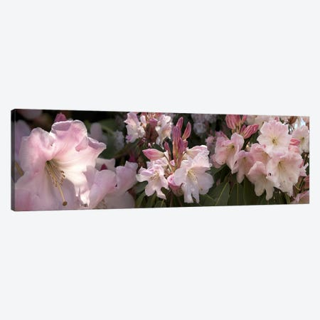 Multiple images of pink Rhododendron flowers 3-Piece Canvas #PIM10549} by Panoramic Images Art Print