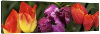 Multiple images of tulip flowers Canvas Print #PIM10550