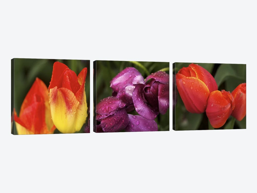 Multiple images of tulip flowers by Panoramic Images 3-piece Canvas Print