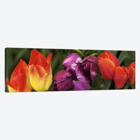 Multiple images of tulip flowers Canvas Print #PIM10550} by Panoramic Images Canvas Artwork